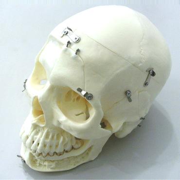 DM01 modello cranio - Gestor Cosmetics