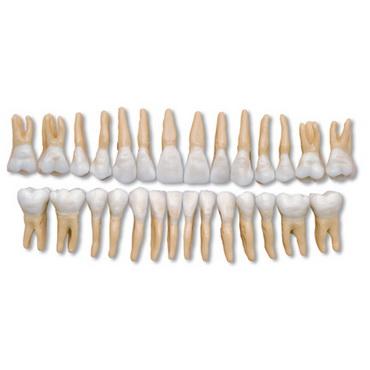 DM04 denti modello occlusore - Gestor Cosmetics